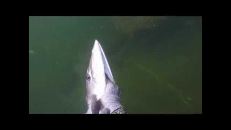 Подводная охота. Огромные экземпляры. Речные монстры.