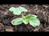 Выращивание  арбузов рассадой  / Как к 7 июля получить спелую ягоду 10 кг