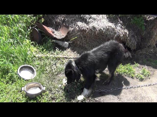 Самый голодный пёс на свете! Лето в деревне!