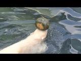 Медвежонок Ростик. За тыквой в воду! Polar bear Rostik. With the pumpkin in the water!