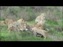 прайд львов ест зебру дикий мир и поведение животных в нем