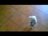 Собачка пляшет