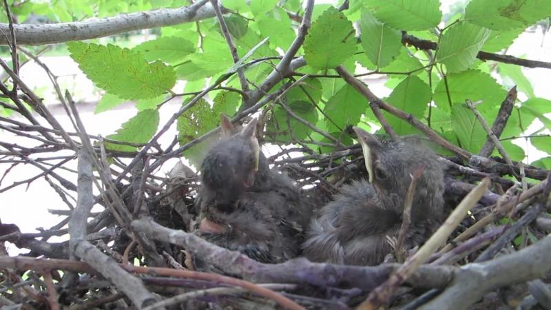 Пересмешник певчий североамериканский(многоголосый)(Northern Mockingbird (Mimus polyglottos)