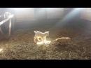 Козленок играет с кошками на ферме