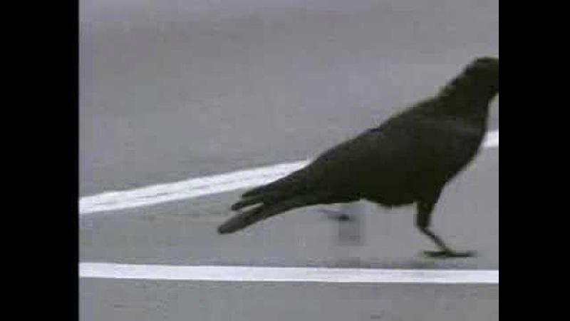 Wild crows inhabiting the city use it to their advantage - David Attenborough - BBC wildlife