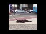 Собака не хочет идти домой) СОБАКА ДОБИВАЕТСЯ СВОЕГО