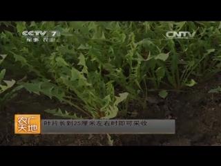 Одуванчик ''Пугунин'', или ''Хуан Женьшень'' (жёлтый Женьшень) - методы выращивания витаминных листьев в теплицах ''Нуань Пэн''