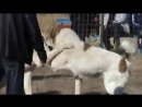 собачий бой 12 тыс. видео найдено в Яндекс.Видео_0_1474475647819