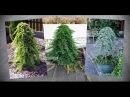 Как сделать ниваки бонсай плакучее дерево