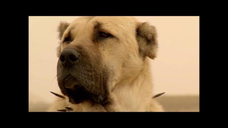 THE KANGAL DOG