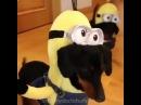 Собаки миньоны / Wiener Dog Minions