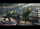 Two Parrots Singing Old MacDonald Had A Farm.