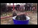 Малыш слоненок плещется в тазике с водой