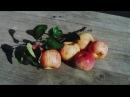 Сорта яблонь для северо западной зоны Питомник ЛПООС