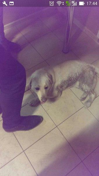 Потерялась собака породы лабрадор.В Кировском районе остановка 25 школ