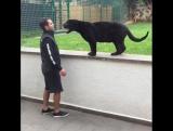Пантера подкралась сзади к мужчине, чтобы... поцеловать