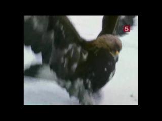 «Борьба за выживание – Тайная жизнь росомахи» (Документальный, животные, 1997)