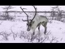 Охота с лайкой в якутии. Охота на северного оленя с лайкой