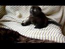 Шотландская вислоухая кошка продажа. Scottish Fold for sale for breeding