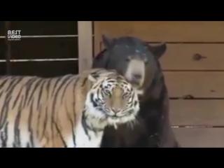 Это прекрасно! Дружба медведя и тигра