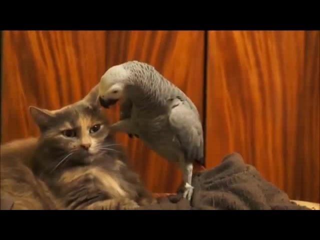 Попугай джокер