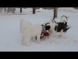 Якутики обедают вкусняшкой =) Якутская лайка щенки .Yakutian Laika puppies.