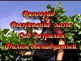 Виноград.Вызревание лозы.The aging of the vines.Сад Зауралья.