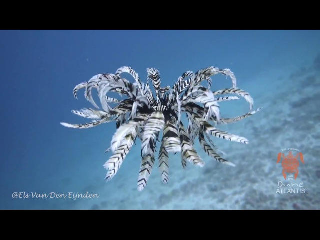 Feather Starfish (Crinoid) in Blue Lagoon Padang Bai, Bali by Els Van Den Eijnden
