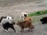 Дикие кошки видео.  Кошачьи Бои! Один Против Банды!