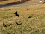 Подкормка грачей и голубей.