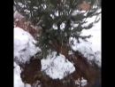 Зимняя выкопка сосен 4 метра