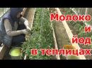Обработка томатов перцев и баклажанов МОЛОКОМ с ЙОДОМ в теплицах Средство от фитофторы