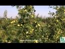 Ранние летние сорта яблонь краткое описание плодоношение в питомнике растений