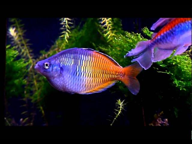 Planted Rainbowfish Tank *October 2011*