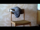 Бешеный кот Семен Семеныч