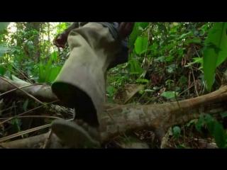 Басенджи - маленький дикий зверь из леса