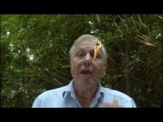 Дэвид Аттенборо (David Attenborough) про плетение паутины
