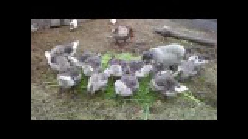 Немного о разведение кормлении и содержании серых гусей.