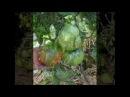 Выращивание помидоров по два корня в лунке