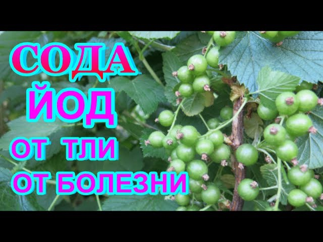 СОДА КАЛЬЦИНИРОВАННАЯ ЙОД = СУПЕР СРЕДСТВО от ТЛИ серой гнили мучнистой росы всех растений