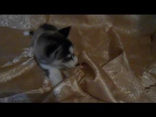 Щенок сибирского хаски - Ермак
