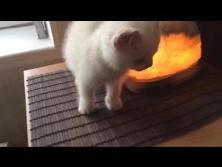 Британське прямувухе біле кошеня :)