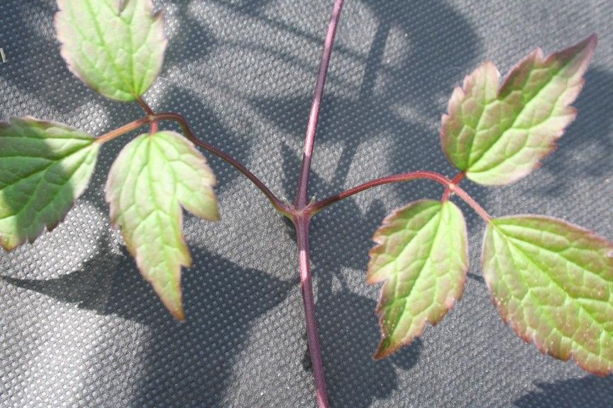 Клематис, размножение черенками осенью
