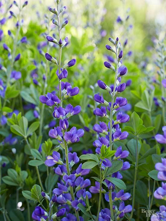 Неприхотливые многолетние цветы для дачи. Часть 1-Баптизия