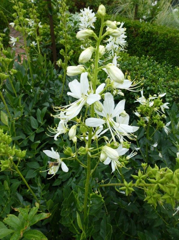 Неприхотливые многолетние цветы для дачи. Часть 1-Белый ясенец или дикий бадьян