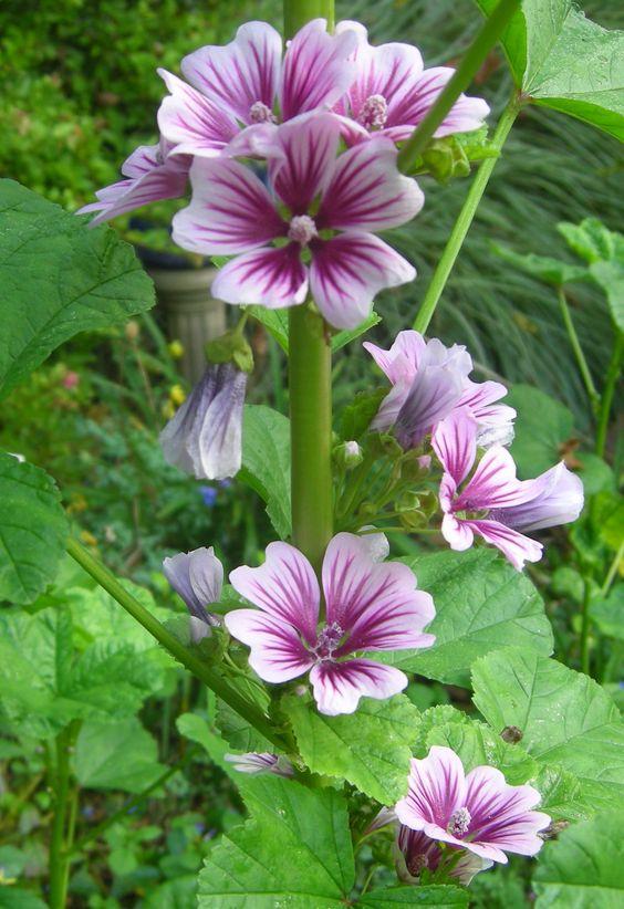 Неприхотливые многолетние цветы для дачи. Часть 1-мальва
