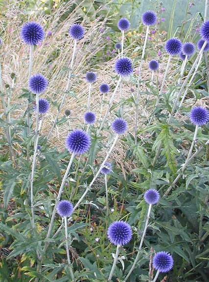 Неприхотливые многолетние цветы для дачи. Часть 1-глобус расторопши