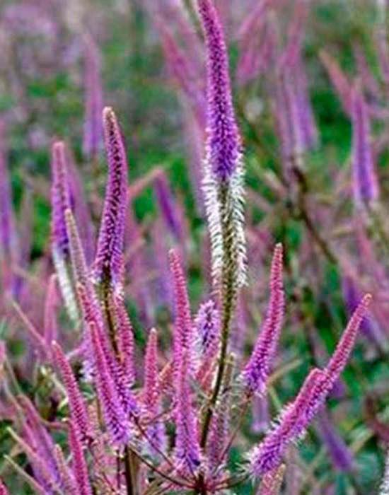 Неприхотливые многолетние цветы для дачи. Часть 1-Вероникаструм виргинский