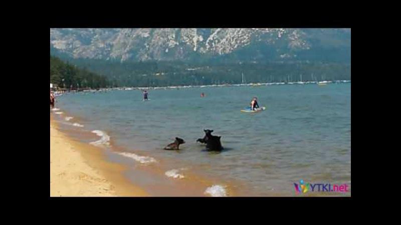 Медведица и медвежата купаются среди людей в озере Тахо, штат Калифорния