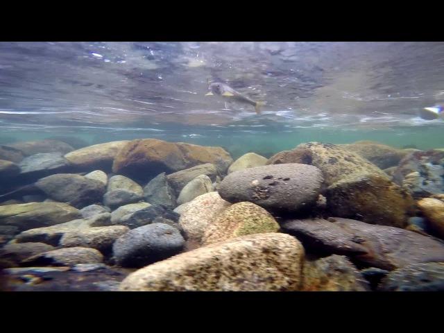 Рыбалка на реке м. Казыр. Подводные съемки Хариуса